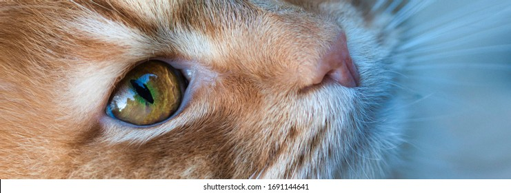 Cat face portrait close up web banner. Detailed cover background with selective focus on cats face, eyes, nose fur and whiskers. Soft and beautiful.