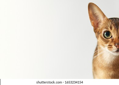 Cat face Young brown abessin cat Half of muzzle close up portrait on a white background Cat portrait close up, only head crop, cat stare at the viewer with free space for advertising and text
