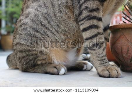 Cat Fat Problem Tiger Pattern Pet Stock Photo Edit Now 1113109094