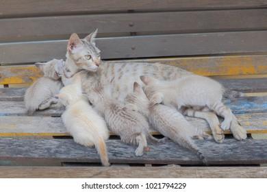 Cat feeding five kittens