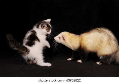 Cat and ferret playing