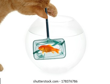 A cat is fishing for a goldfish. Taken on a clean white background.