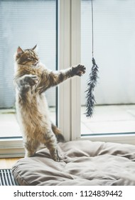 Cat game.  Funny fluffy kitten stands on its hind legs and plays with a hanging cat toy at window in cozy room