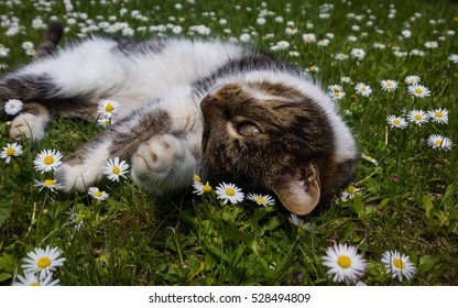 Cat in the garden, lying in daises. Slovakia