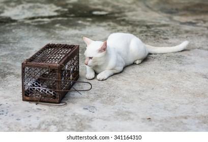 cat gaze rat in Cage Rat Trap