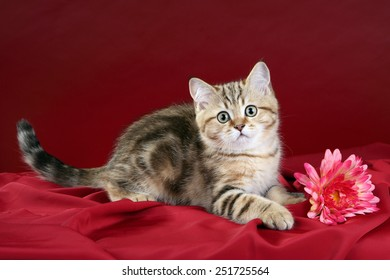 Cat with gerbera flower on red background