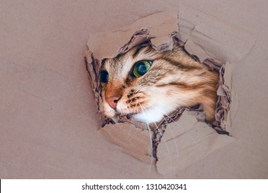 Cat gets out of the hole in the cardboard