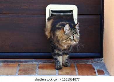 A cat goes through a cat flap. Norwegian Forest Cat in front of a Cat Flap