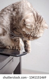 Cat is going throwa cell phone on the floor, dangerously lying on the edge of the table, carelessly left. Close-up.