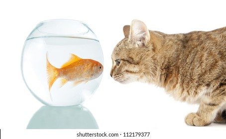 cat and  gold fish - symbol of looking straight into  eyes of fear, protection, sacrifice, appetite, predator, food, nutrition, obstacle