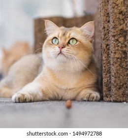 Golden Shaded British Shorthair Images, Stock Photos