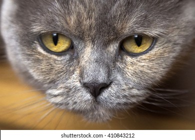 The cat of gray color with brown speckled pyatny breeds of British Shorthair watches not a kind look at her yellow eyes with black pupils, the cat looks down.