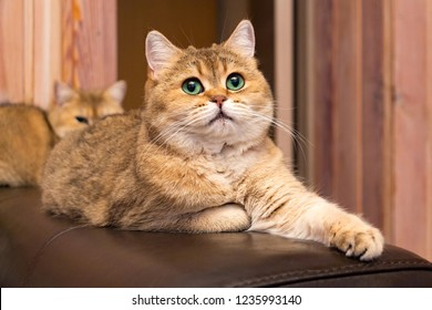 Cat with green eyes - adorable British gold cat with deep rich green eyes lies on the couch putting his paw forward and looking up