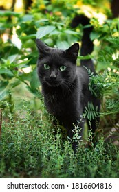 Cat with green eyes in the grass. Black cat with green eyes. Cat in the garden.