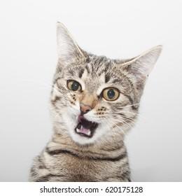 Cat grimace face. Cute kitten twitch portrait
