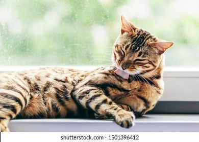Cat grooming himself cleaning his fur while resting on window sill. Bengal cat. Spines on the cat's tongue visible