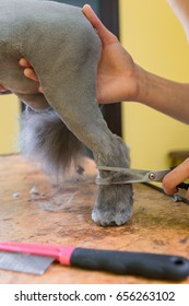 Cat grooming in pet beauty salon. The wizard uses the scissors for trimming paws.