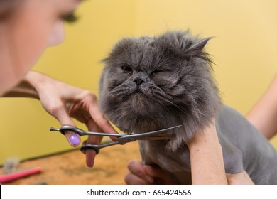Cat grooming in pet beauty salon. The wizard uses the scissors for trimming the face.