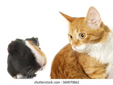 cat and guinea pig on a white background