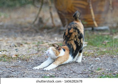The cat has 3 colors, white, orange, and black is stretching on the ground in the morning