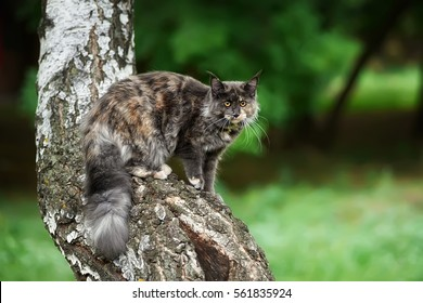 the cat has climbed highly on a tree. Portrait of a Maine Coon outdoors. Looks afar. the cat hunts.