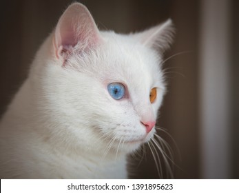 Cat with heterochromia. Close up portrait of cute white fur with two different eyes colors of blue and yellow Khao Manee. Pure Rare White Cat with odd eyes and pink nose