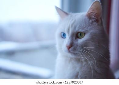 c977c884e0 Cat with heterochromia. White cat with different eyes. Odd-eyed kitten. Cat