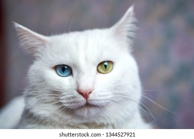 Cat with heterochromia. White cat with different eyes. Odd-eyed kitten. Cat with 2 different-colored eyes, heterocromatic eyes — Turkish Angora. Cat looking right, laying on the lilac background
