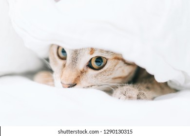 Cat is hiding on the bed under a blanket.