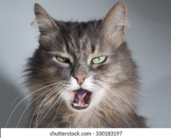 The cat hisses, gapes, grins. Muzzle cat large. Portrait. You can see the fangs, the teeth. Cat large, grey, fluffy. The cat opened its mouth. The terrible jaws of the cat. Mouth.