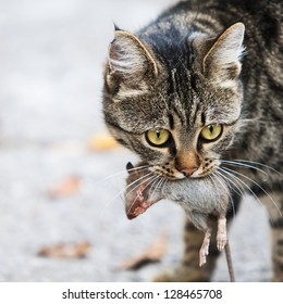 cat holds the caught mouse in teeth