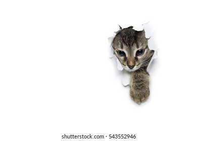 Cat in hole of paper, little grey tabby kitty getting out through torn white background, funny pet