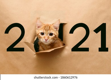 Cat in hole of paper, little red tabby kitty getting out through the craft background, funny pet. Number 2021.