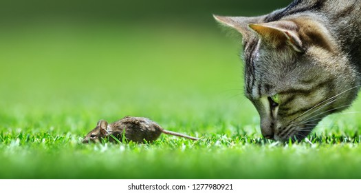 Cat hunt mouse encounter closeup at a low level view
