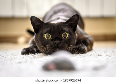 Cat hunting to mouse at home, Burmese cat face before attack close-up. Portrait of funny domestic kitten plays indoor. Look of happy Burma cat preparing to jump. Eyes of playful pet wanting to pounce.