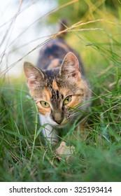 Cat hunting through grass