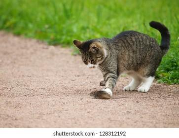 Cat hunts mouse