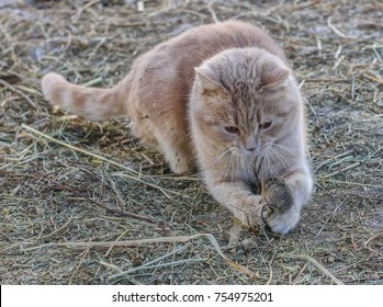 the cat hunts a mouse in the village next to the barn