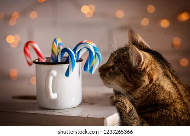 The cat is interested in Christmas candy in the cup
