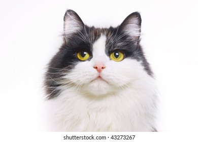 cat isolated on a white