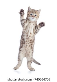 cat jumping isolated on white