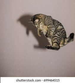 The cat jumps high for the toy. The cat plays the acrobat.