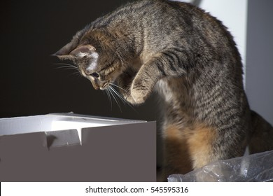 cat jumps into the box