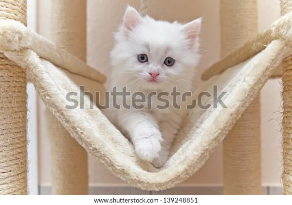 Cat, kitten, cat house, cat tree