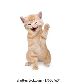 Cat / kitten is laughing