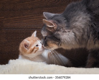 Cat and kitten. Mother and child. Cat kitten sniffing, nose to nose. Love, family, affection. The cat is gray, fluffy. The kitten is small, white and red. Background board.