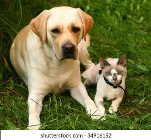 Cat and labrador retriever.