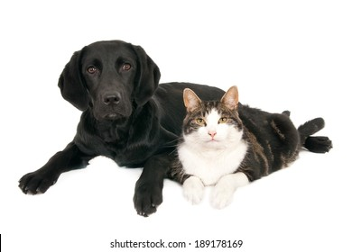 Cat and (labrador retriever) dog peacefully pose together. Isolated on white.