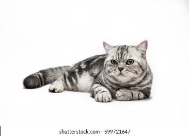 cat laydown on white background