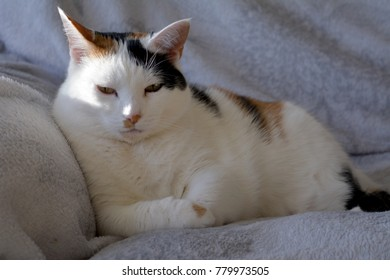 Cat Lazy On Couch Tortoiseshell White Stock Photo (Edit Now